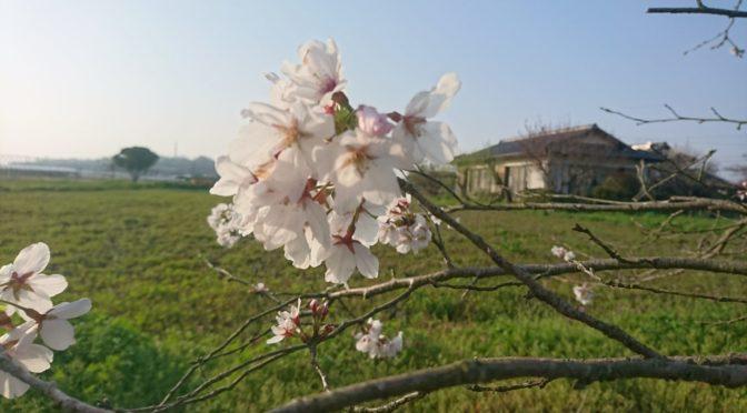 桜の花。✨
