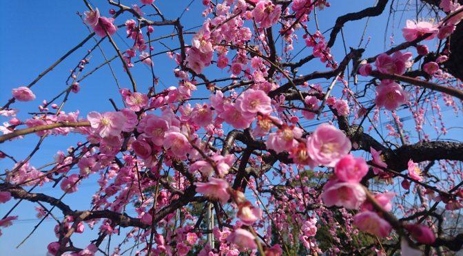 しだれ梅の花。👍