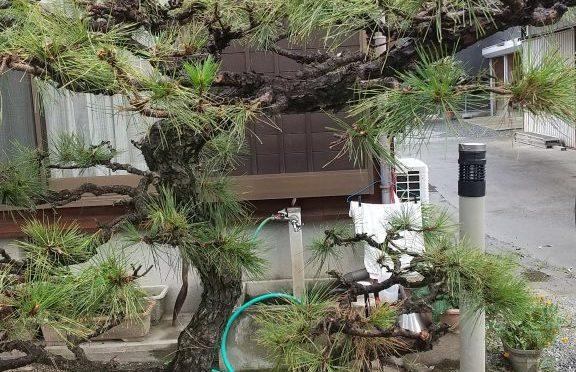 庭木の剪定。👍️