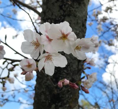 青空と儚いような桜のピンク