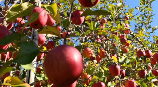 りんご狩りに行きたい